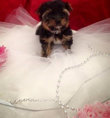 Little Avg is a bubbly, playful, Yorkie