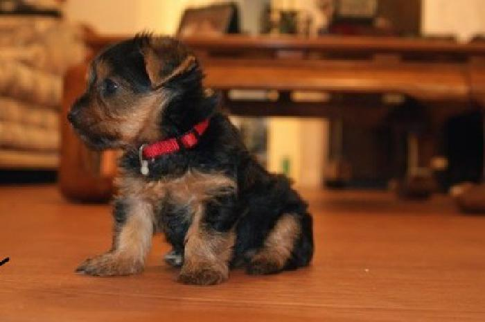 lkiouyyutyttt Kid-friendly Yorkie Puppies For Sale