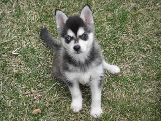 lkuhfopied Alaskan Klee Kai Puppies Male and Female Available