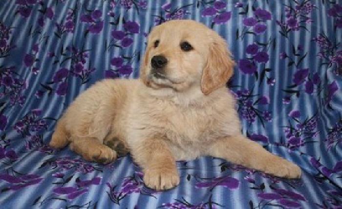 llkjhfg Golden Retriever Puppies for Sale