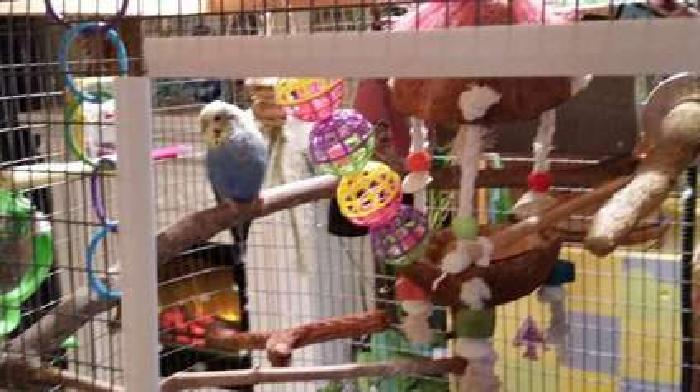 Lonely Parakeet Needs to be Adopted