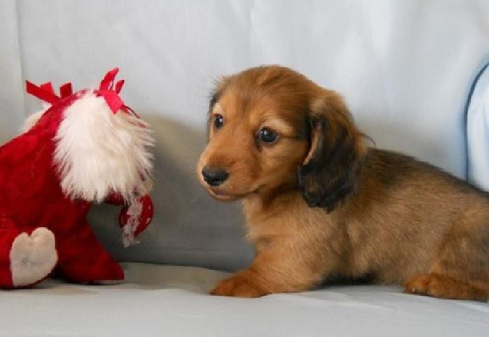 Long n Short Haired cute MINIDachshund Puppies For Sale