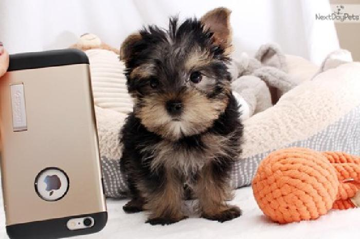 Look for what and adorable little baby Yorkie