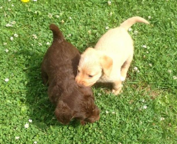 lovely cute welcome Mini Labradoodles Toy Poodle for sale
