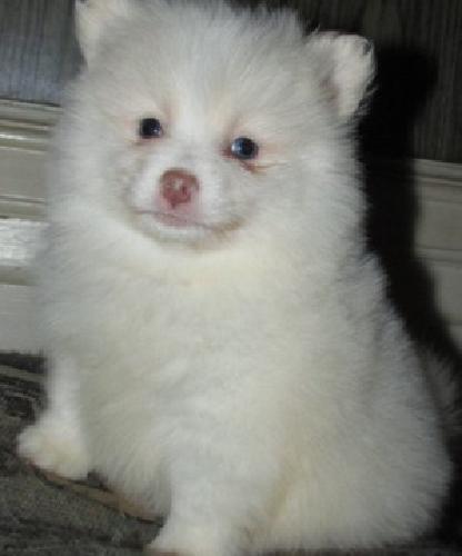 ''!!!! Lovely Female Pomeranian Puppy''