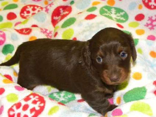 Maddie--Female Dachshund Puppy
