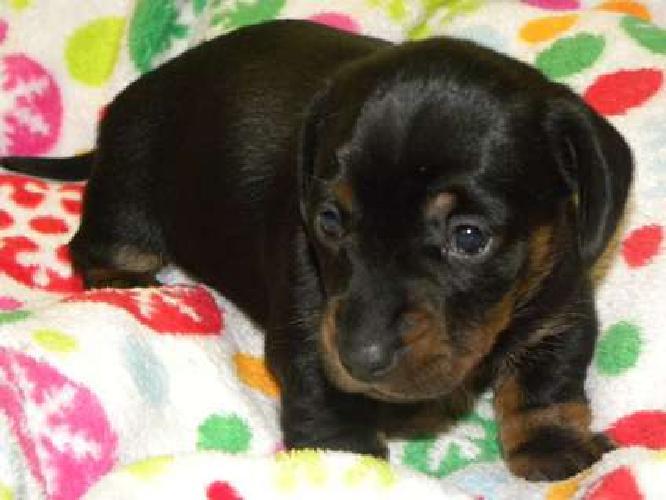 Maira--Female Dachshund Puppy