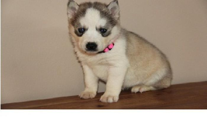 ...MAKSIMILIAN-Lowest akc registered Siberian Husky puppies for new homes