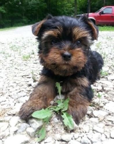 Male & FemalesTrained AKC Yorkie Puppies
