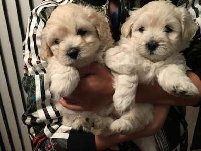 Maltipoo Puppies to Good Homes! Eight weeks old