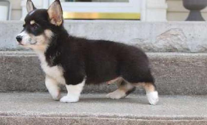 Marvelous M/F Welsh Corgi Puppies For Sale