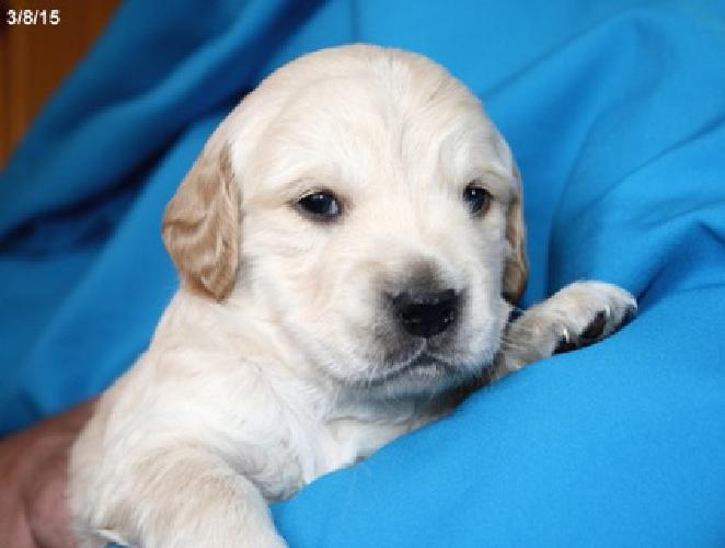 Marvelous Male Mini Golden Doodle Puppies, F1 for sale in