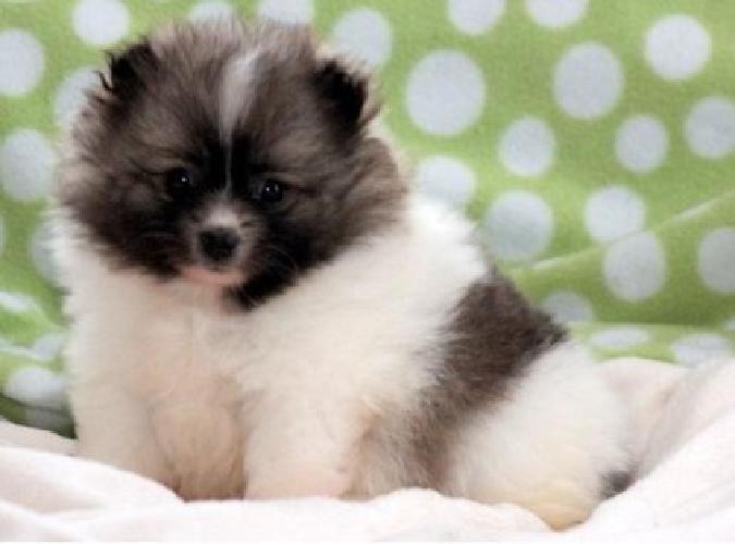 Marvelous White Teacup Pomeranian Pups For Sale