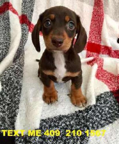 Meet THESE adorable brown short haired dachshund Pups For Sale