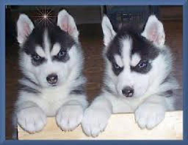 .mhggmhmyuiyuquality and cute siberian husky puppies