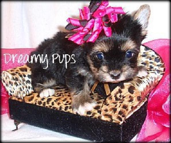 Micro Yorkie Female Extreme Baby Doll Face Reserve Her Today With A Deposit