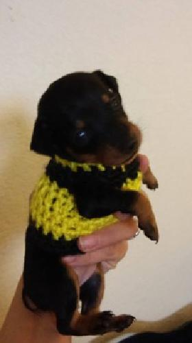 Min Pin Puppies for sale