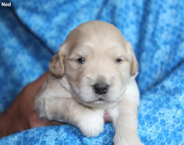 Mini Goldendoodle Puppies, F1, Ready Sept 1st for sale in