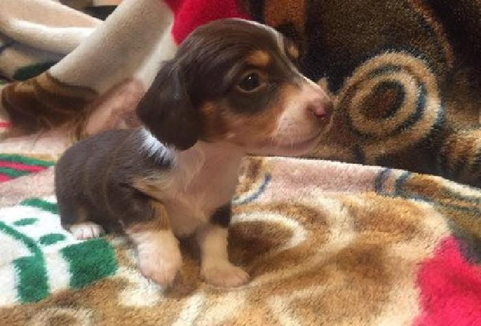 Miniature Dachshund puppy, Long haired for sale for sale in