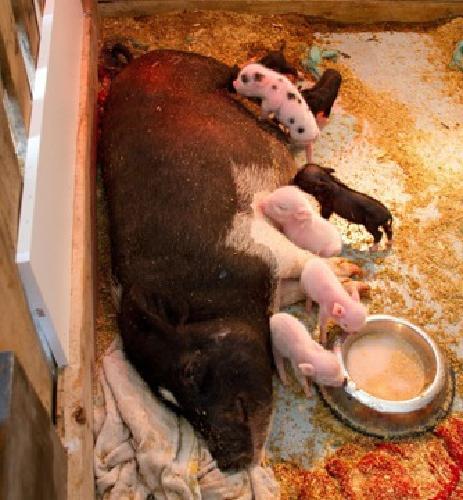 Miniature pot belly piglets for sale