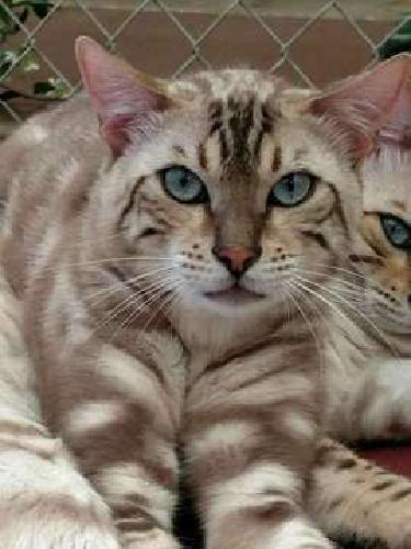 Mink Marbled one year old boy Bengal cat - breeding cat-