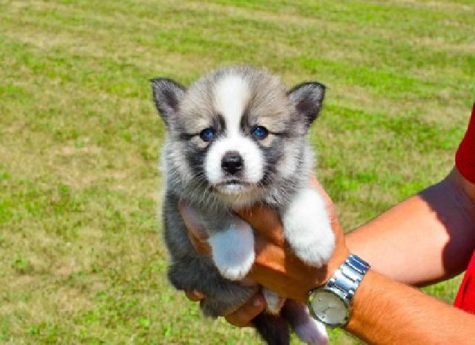 Mix Breed ( Pomsky ) puppies available for sale in Great