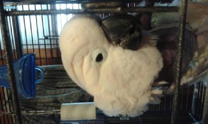 molacan cockatoo parrot