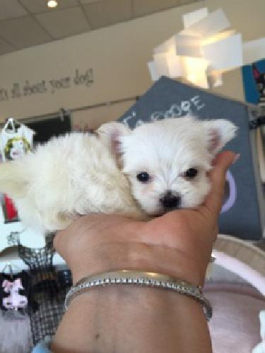 Morkie Puppies Solid White 35 To 45 Lbs Full Grow For Sale In