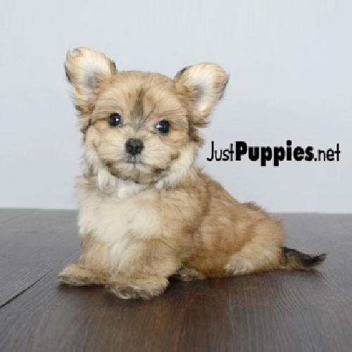 Morkie Puppies In Orlando Real Hypoallergenic For Sale In