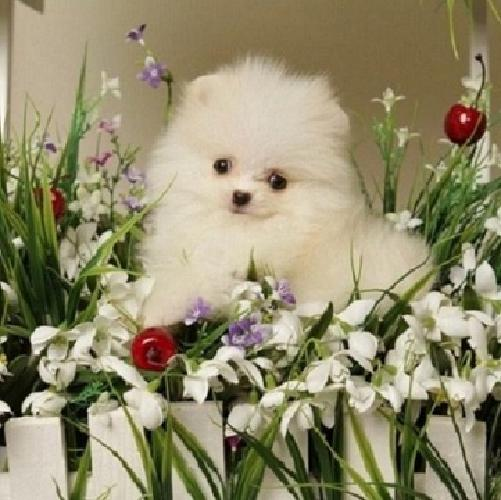 new homes for High Quality and Healthy AKC reg Pomeranian Puppies