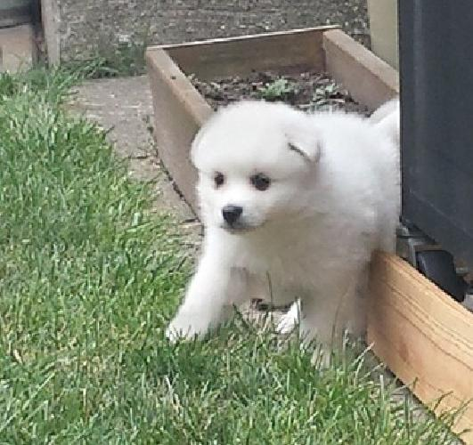 nfgfdysdfser American Eskimo Dog Puppies For Sale