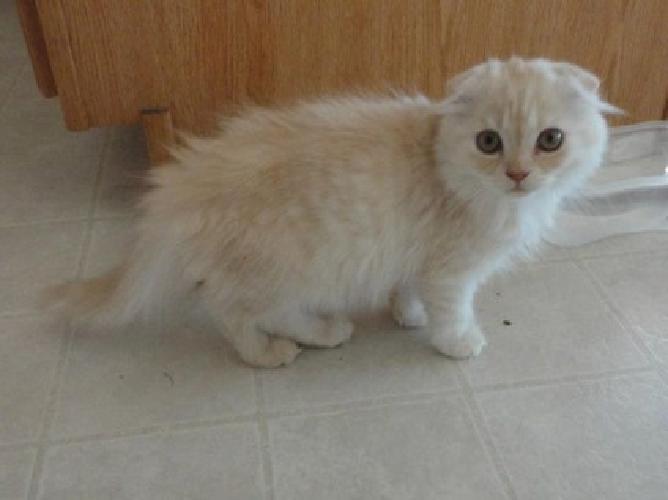 Nkirea Qwairb Scottish Fold Kittens