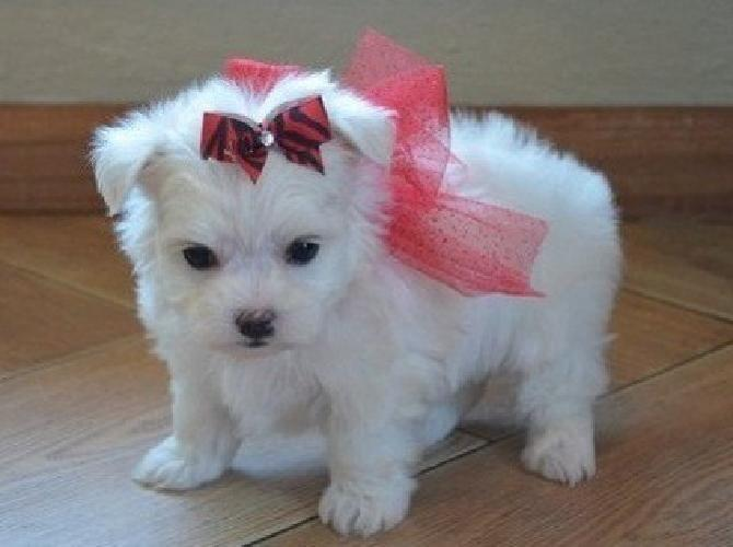 nowqddfeuhiu Teacup Maltese Puppies Male And Female Available