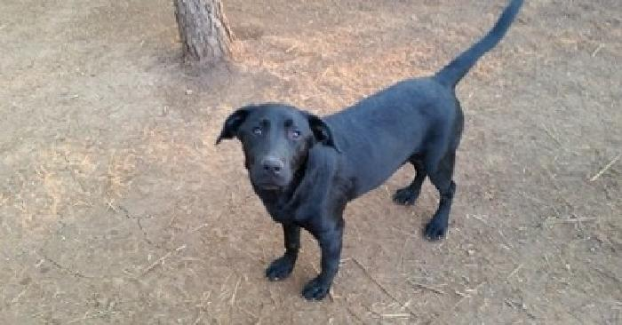 nsmfmfk Month Old AKC Labrador Retriever! (MH) & (JH)