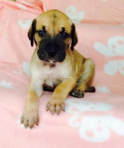nyynyn Nicest Male and female Great Dane puppy
