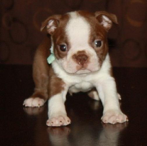 Ooooeer Boston Terrier Puppies For Sale For Sale In Duluth