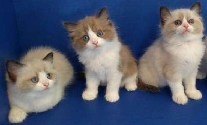 Outstanding M/F Ragdoll Kittens For Sale