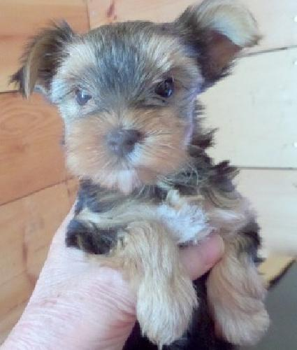 Pbht Extremely Teacups Yorkies Puppies For Sale In Cerritos