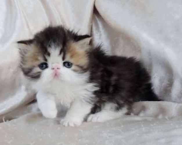 Persian Brown Tabby & White Male Kitten