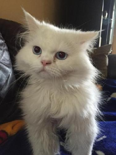 Persian Cat (White)