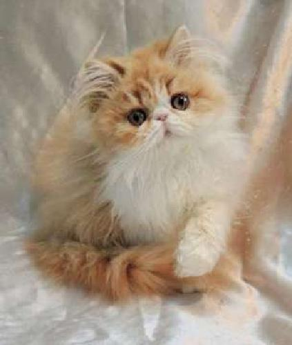 Persian Red & White Male READY TO GO