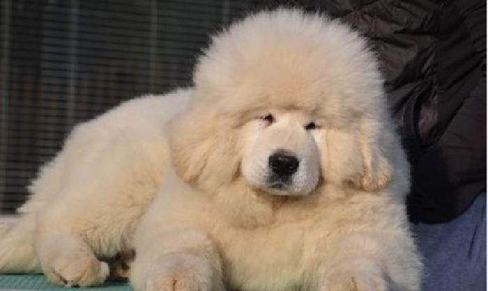 phstef white Tibetan Mastiff puppies for sale for sale in Miami