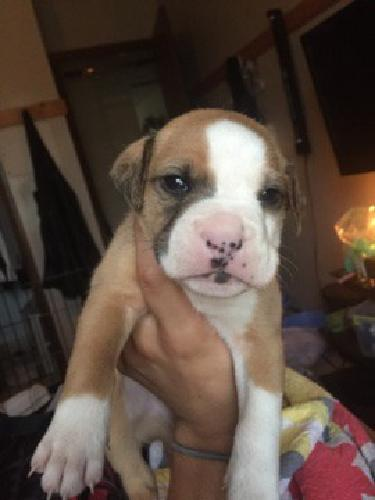 Pit bull - Boxer puppies for sale in Springfield, Missouri ...