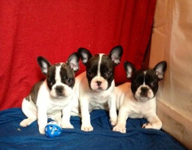 pkmjkl French bulldog puppies