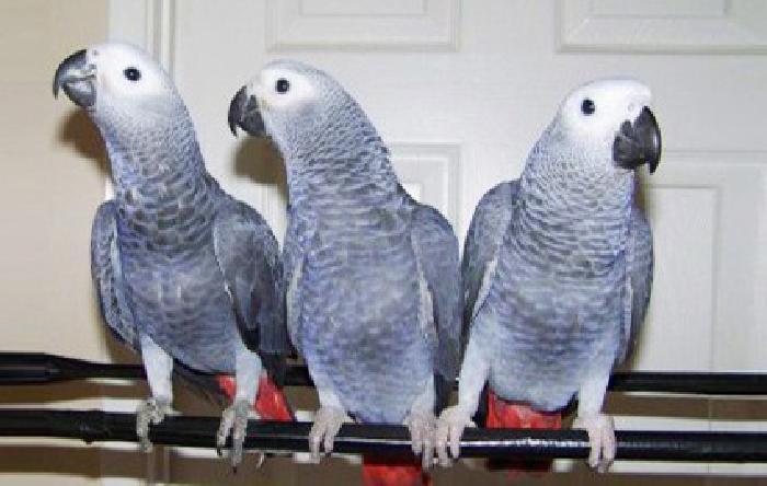 Playfull Talking African Grey Parrots