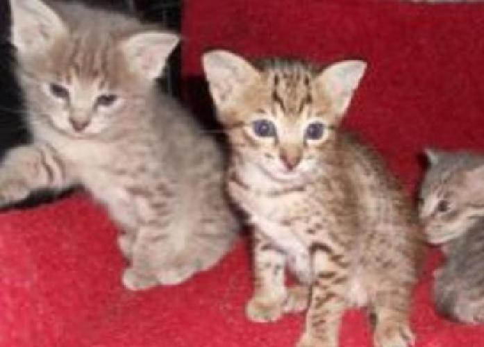 Plodifg Gshytms Savannah kittens