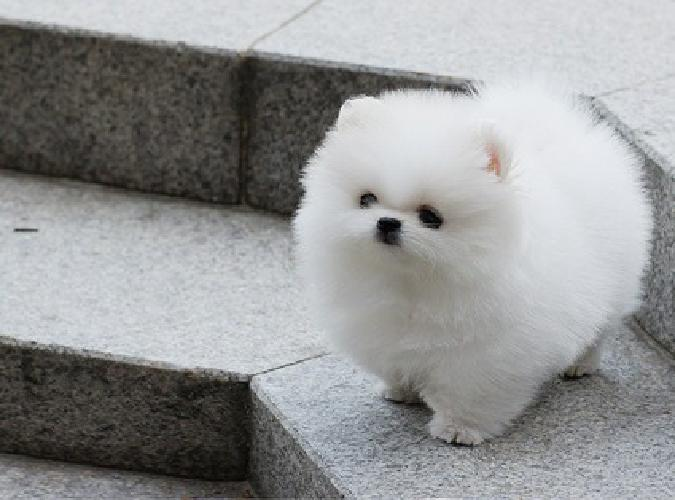 Plzayug Top Cute Akc Tiny Teacup Pomeranian Puppies Now Available