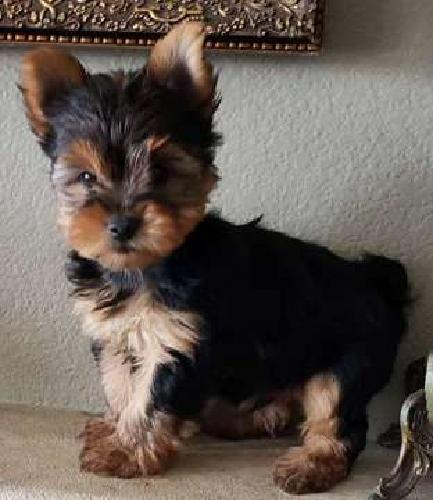 Precious Tiny Toy Yorkie Puppies microchipped, vet checked $1250-$1600