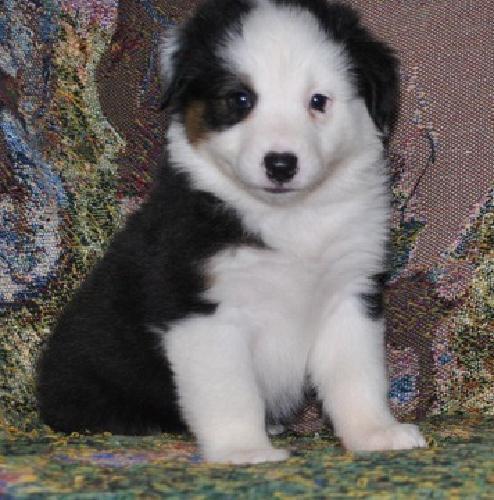 Pure Australian Shepherd Puppies for sale