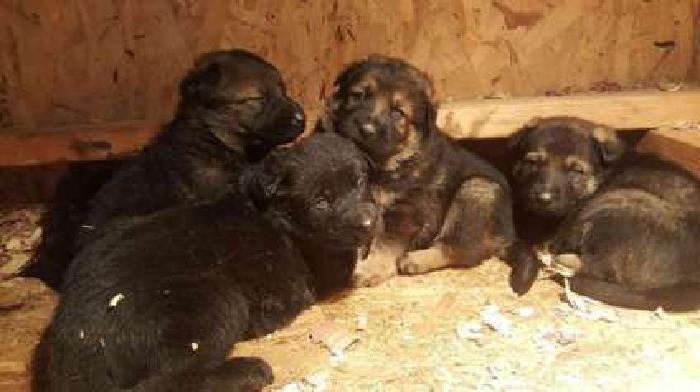 pure bred German Shepherd puppies